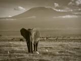 Elephant, Mt. Kilimanjaro, Masai Mara National Park, Kenya Papier Photo par Peter Adams