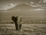 Elephant, Mt. Kilimanjaro, Masai Mara National Park, Kenya Photographic Print by Peter Adams