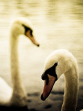 Two Swans Swimming on Lake Photographie par Clive Nolan