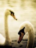 Two Swans Swimming on Lake Papier Photo par Clive Nolan