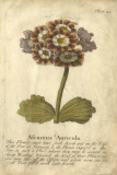 Vintage Auricula II Giclee Print