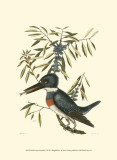 Small Antique Kingfisher II Prints by Mark Catesby