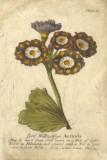 Vintage Auricula I Giclee Print