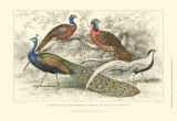 Peacock & Pheasants Poster by J. Stewart