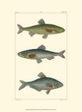 Freshwater Fish III Posters