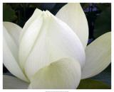 Delicate Lotus IV Art by Jim Christensen