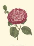 Camellia Blooms IV Art by J.J. Jung