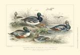 Duck Varieties Posters by Julius Stewart
