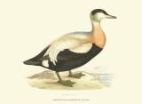 Eider Duck Posters