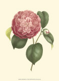 Camellia Blooms I Prints by J.J. Jung
