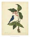 Catesby Bird & Botanical IV Giclee Print by Mark Catesby