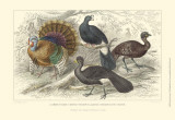 Turkey & Curassows Prints by J. Stewart
