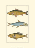 Freshwater Fish II Prints