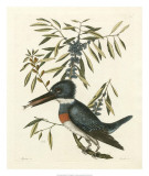 Antique Kingfisher II Prints by Mark Catesby