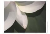 Lotus Detail IV Prints by Jim Christensen