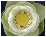 Delicate Lotus II Plakater af Jim Christensen