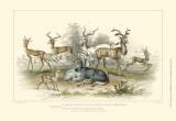 Antelope Varieties Art by Julius Stewart