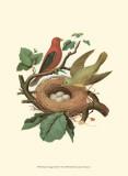 Scarlet Tanager & Nest Affiche