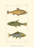 Freshwater Fish IV Art