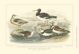Oyster Catchers Posters by Julius Stewart