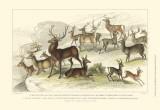 Deer Varieties Posters by J. Stewart