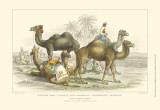 Asiatic Camels Prints by J. Stewart