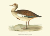 Egyptian Goose Posters