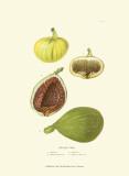 Figs Prints