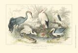 Herons, Egrets & Cranes Reprodukcje autor Julius Stewart