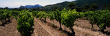 Crop in the Vineyard, Dentelles De Montmirail, Vaucluse, Provence-Alpes-Cote D'Azur, France Photographic Print