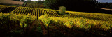 Vineyards in Autumn, Piccadilly Valley, Adelaide Hills, South Australia, Australia Photographic Print