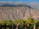 Crop in a Vineyard, Cafayate, Calchaqui Valleys, Salta Province, Argentina Photographic Print