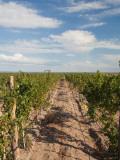 Crop in a Vineyard, Bodega O. Fournier, San Carlos Department, Mendoza Province, Argentina Photographic Print
