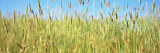 Tall Grass in Field, California, USA Photographic Print