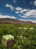 Lettuce Crop in a Field, Tilcara, Quebrada De Humahuaca, Argentina Photographic Print