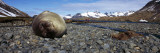 Southern Elephant Seal (Mirounga Leonina) on the Beach, Stromness Harbor, South Georgia Island Photographic Print