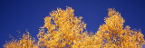 Low Angle View of Aspen Trees in Autumn, Colorado, USA Photographic Print