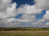 Cattle Grazing in a Farm, Coastal Highway 1, Nueva Helvecia, Colonia Department, Uruguay Photographic Print
