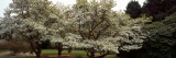 Blooming Magnolia (Asiatic Magnolia) in a Garden, Le Bois De Moutiers, Seine-Maritime, Normandy Photographic Print