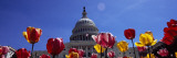 Tulips with a Government Building in the Background, Capitol Building, Washington Dc, USA Photographic Print