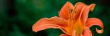 Close-Up of Orange Daylily (Hemerocallis Fulva) Photographic Print