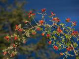Close-Up of a Wild Rose Hip Plant, Villa Mascardi, Rio Negro Province, Patagonia, Argentina Photographic Print