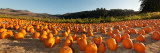 Pumpkins in a Field, San Mateo County, California, USA Stampa fotografica