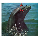 """Trained Dolphin,"" January 4, 1964 Giclee Print by Elgin Ciampi"