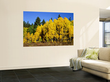Aspens in Fall, Rocky Mountain National Park, Colorado, USA Wall Mural by Bernard Friel