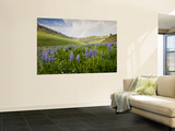 Lupines in Bloom and Rainbow After Rain, Bighorn Mountains, Wyoming, USA Wall Mural by Larry Ditto