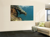 Galapagos Sealion, Gardner Bay, Española Island, Galapagos Islands, Ecuador Wall Mural by Pete Oxford