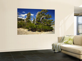 Bristlecone Pine in Crater Lake National Park, Oregon, USA Wall Mural by Bernard Friel