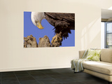 Bald Eagle Perched on Tree Branch, Alaska, USA Wall Mural by Joe & Mary Ann McDonald
