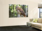 Barred Owl in Old Growth East Texas Forest With Spanish Moss, Caddo Lake, Texas, USA Wall Mural by Larry Ditto
